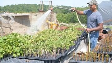 a man waters baby raspberry plants